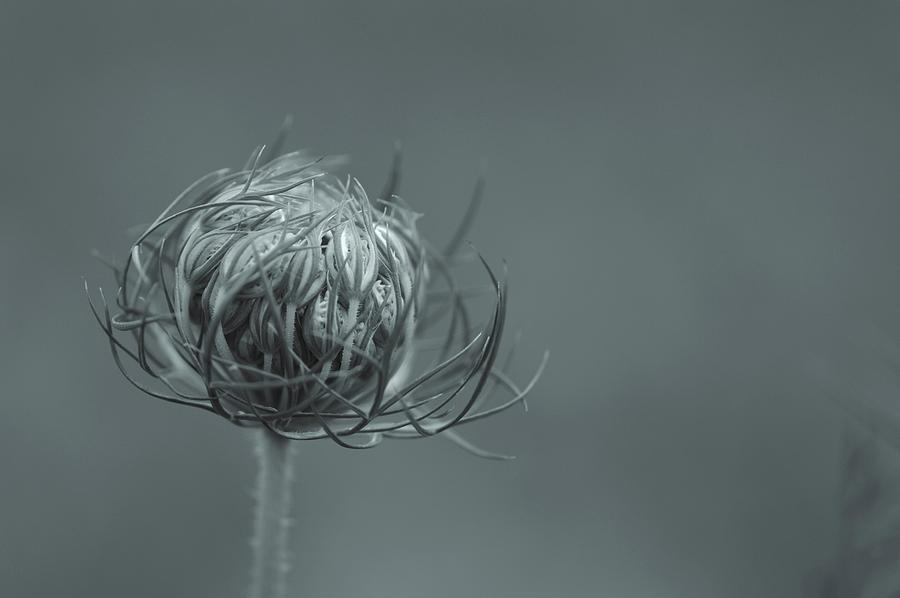 Flower Photograph - Opening Of Lace by Photography by Tiwago