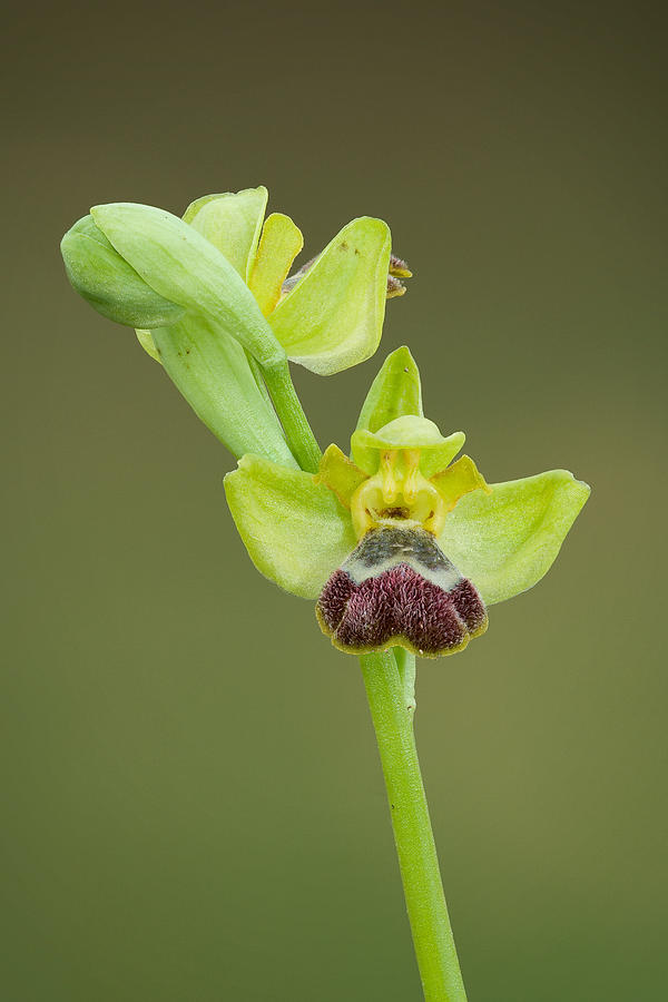 Orchid Photograph - Ophrys Fleischmannii by Yuri Peress