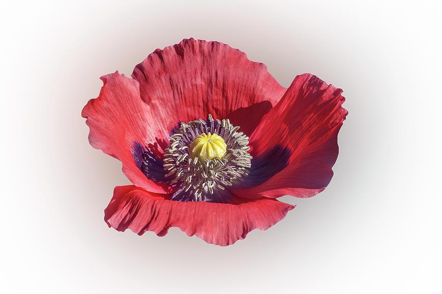 Opium poppy flower 01 photograph by nick kurzenko nature photograph opium poppy flower 01 by nick kurzenko mightylinksfo