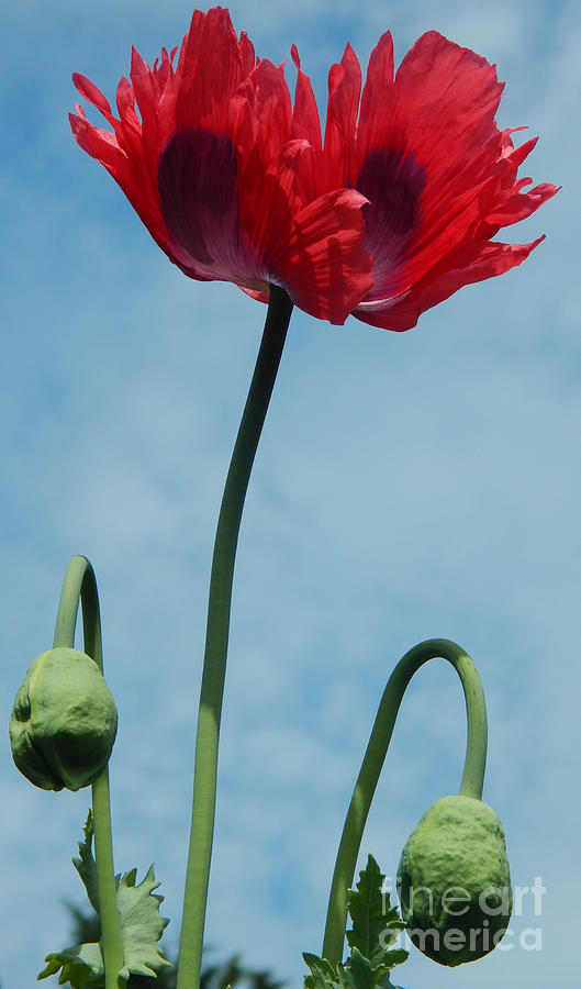 Opium poppy flower and buds photograph by fairy fantasies opium poppy photograph opium poppy flower and buds by fairy fantasies mightylinksfo