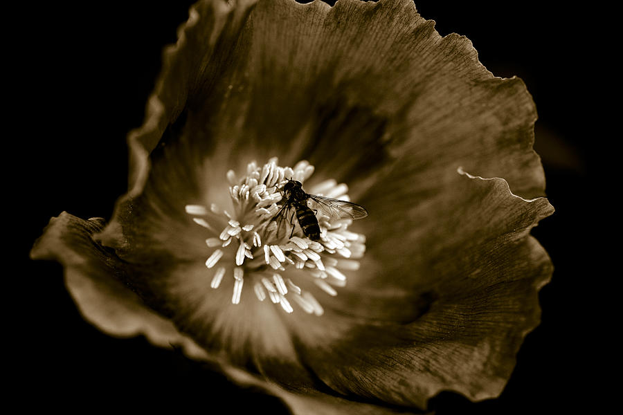 Opium Poppy Photograph - Opium Poppy by Frank Tschakert