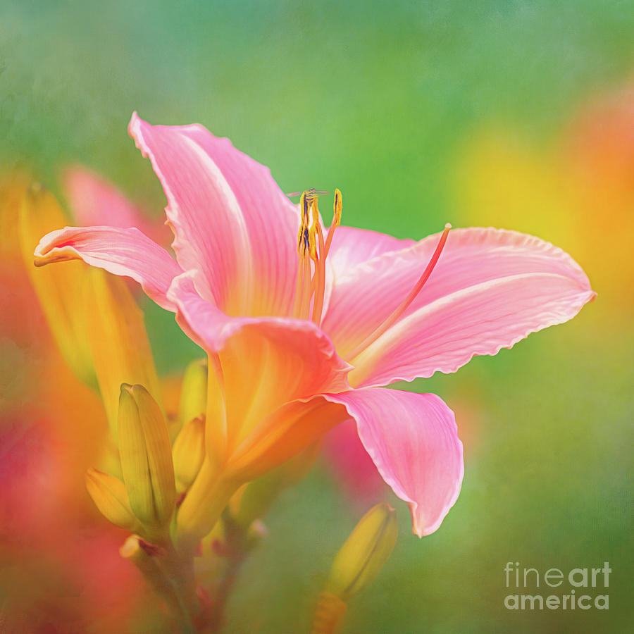 Oporto Daylily with Hoverfly by Anita Pollak