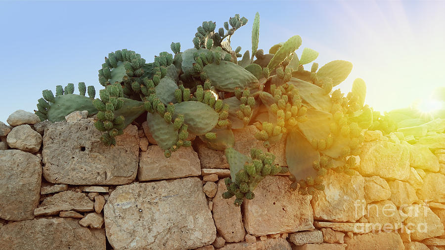 Opuntia Cactus In The Sunset Photograph