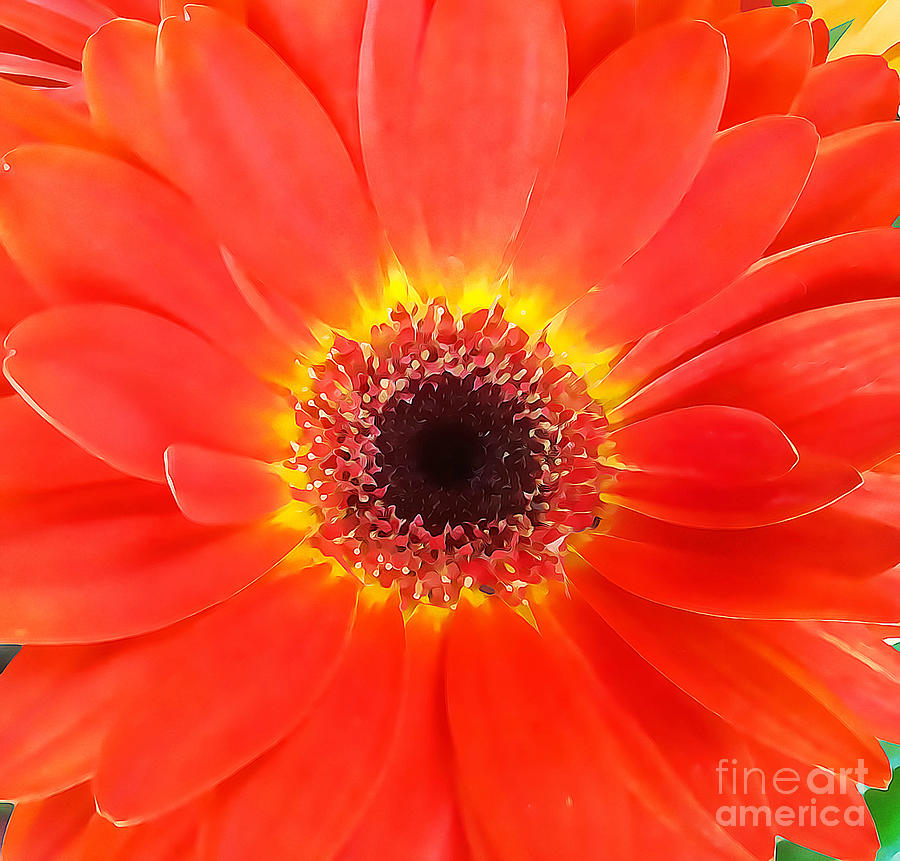 Orange African Daisy by Tracy Ruckman