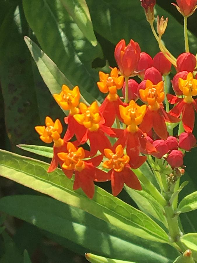 Orange And Yellow Flowers In South Texas Garden Photograph By
