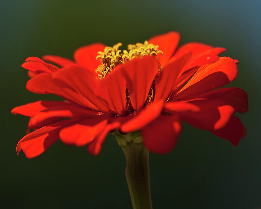 Orange Aster-a Bees Eye View Photograph
