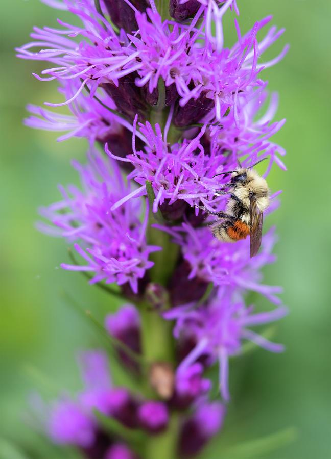Orange backed bumble bee on tall purple flowers photograph by bumble bee photograph orange backed bumble bee on tall purple flowers by barbara rogers nature mightylinksfo
