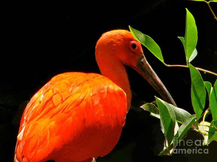 Tropical Bird Photograph - Orange Beauty by Debra     Vatalaro