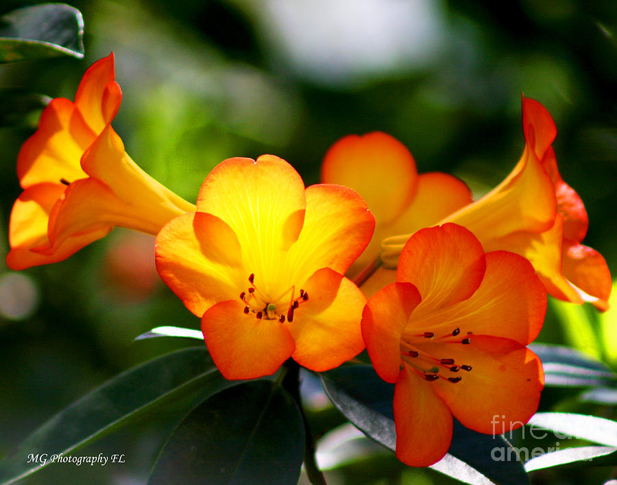 Flowers Photograph - Orange Bells  by Marty Gayler