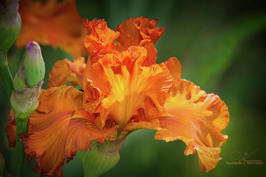 Orange Burst by PiperAnne Worcester