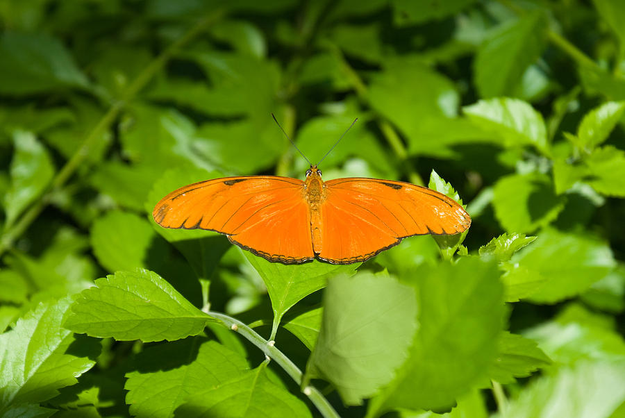 Orange Photograph - Orange Butterfly by Douglas Barnett