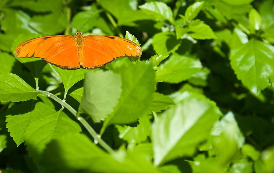 Orange Photograph - Orange Butterfly On Foliage by Douglas Barnett