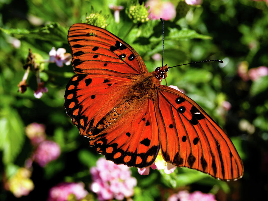 Butterfly Photograph - Orange Butterfly by Valeria Donaldson