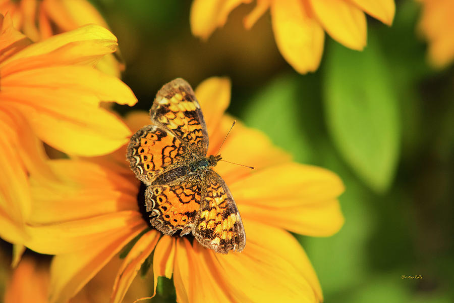 Orange Crescent Butterfly by Christina Rollo