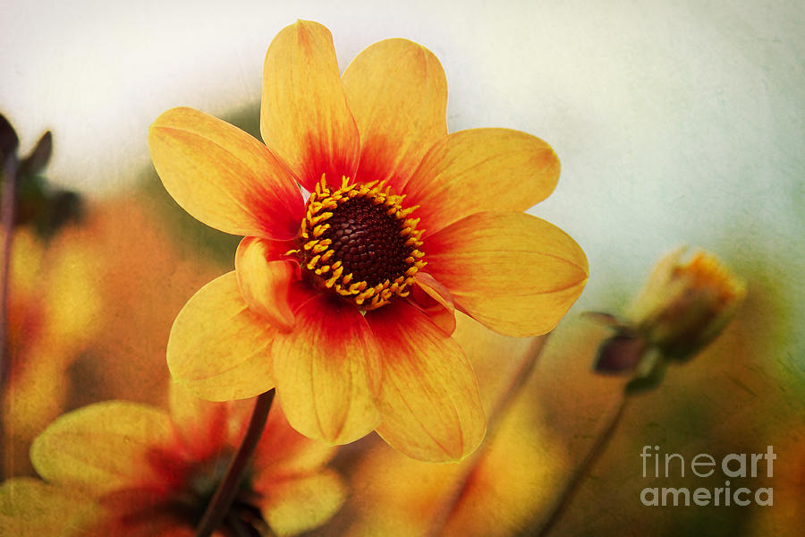 Autumn Photograph - Orange Dahlia  by Angela Doelling AD DESIGN Photo and PhotoArt