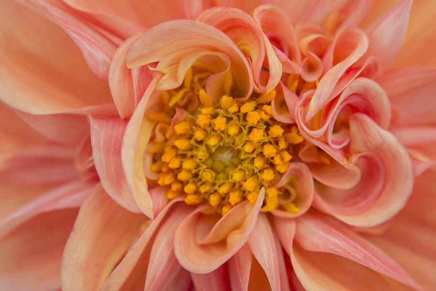 Orange Photograph - Orange Dahlia by Kathleen Clemons