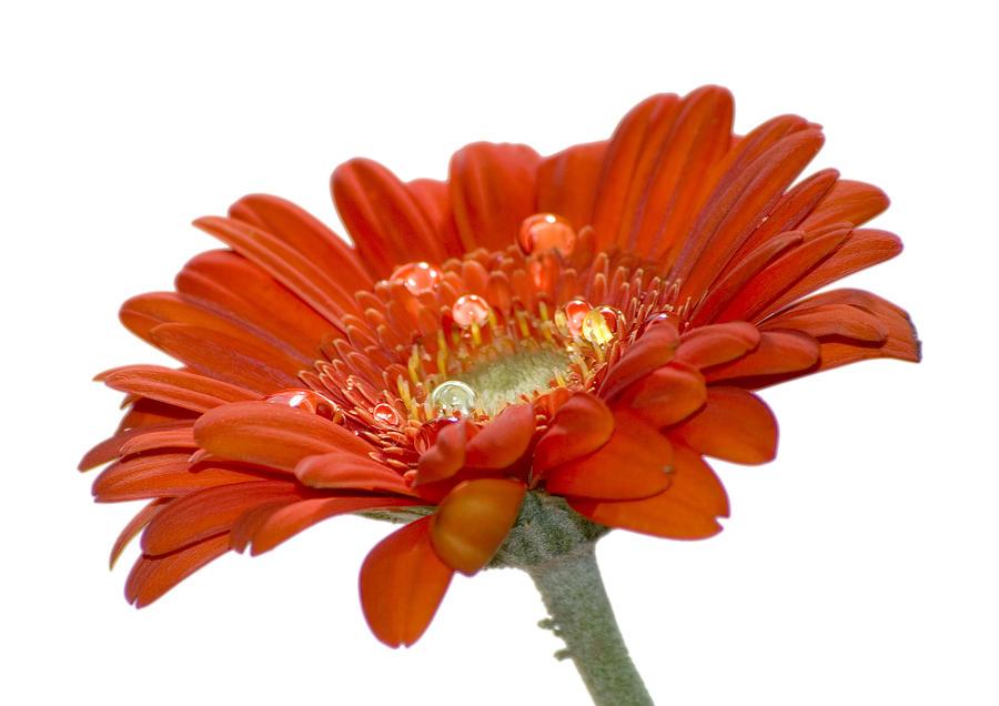 Orange Flower Photograph - Orange Daisy Gerbera Flower by Pixie Copley