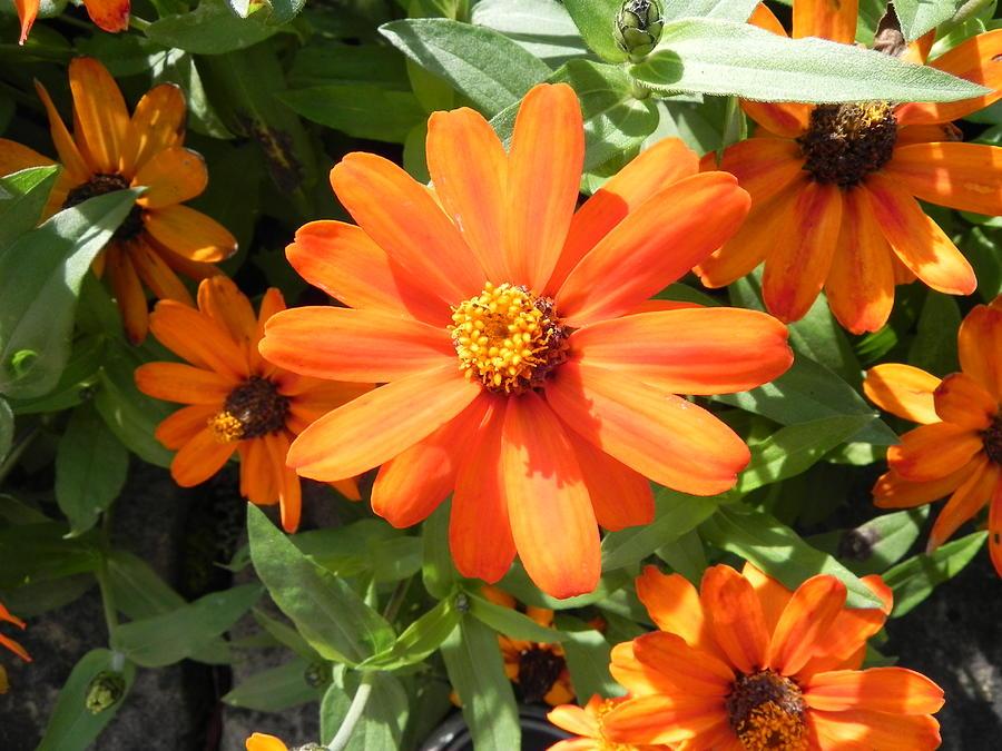 Orange Photograph - Orange Daisy by John Parry