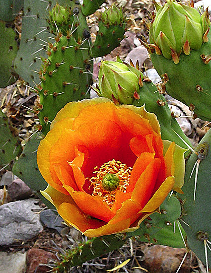 Cactus Photograph - Orange Delight by Richard Eller