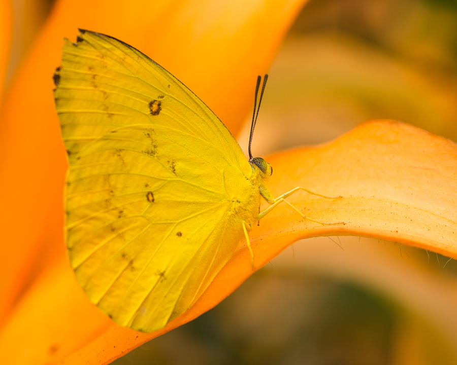 Orange Photograph - Orange Emigrant Butterfly by Kimberly Kotzian