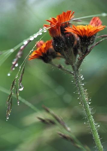 Ontario Photograph - Orange Flower - Ontario by Catherine Kelly
