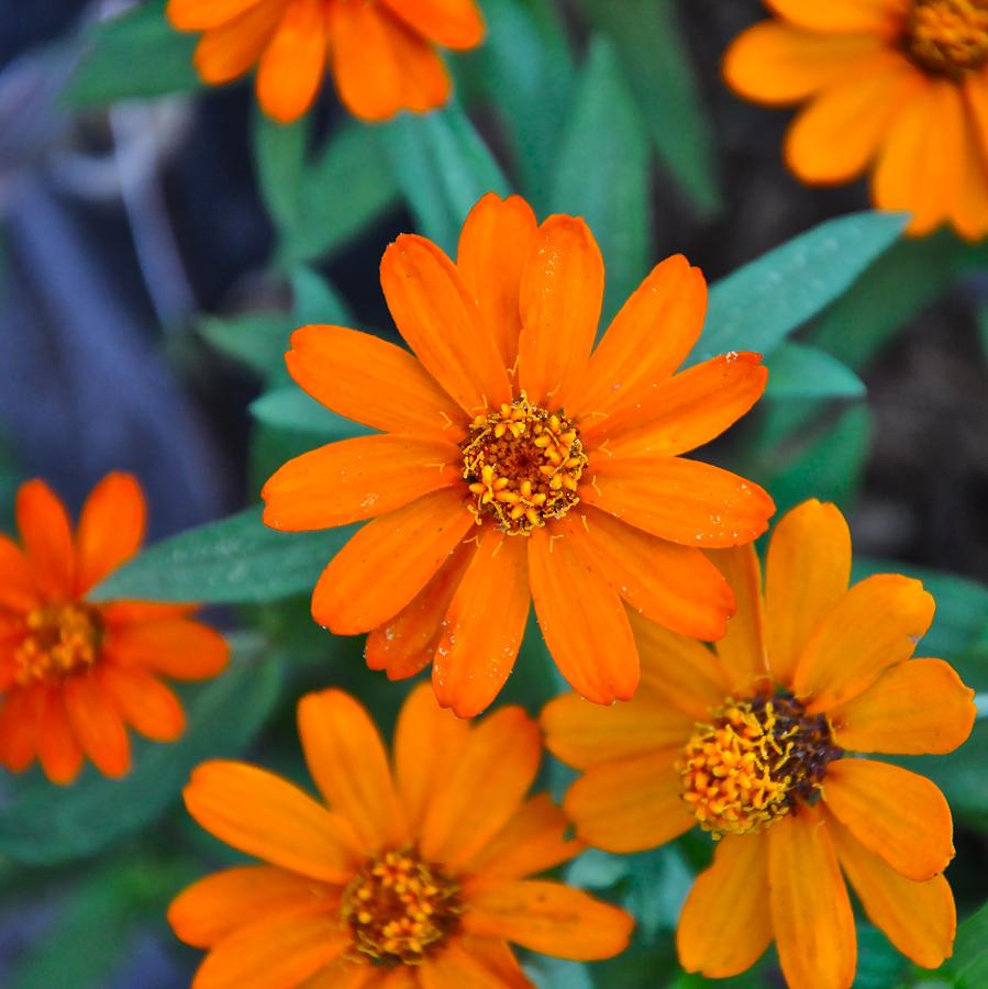 Orange Photograph - Orange Flowers by Lori Kesten