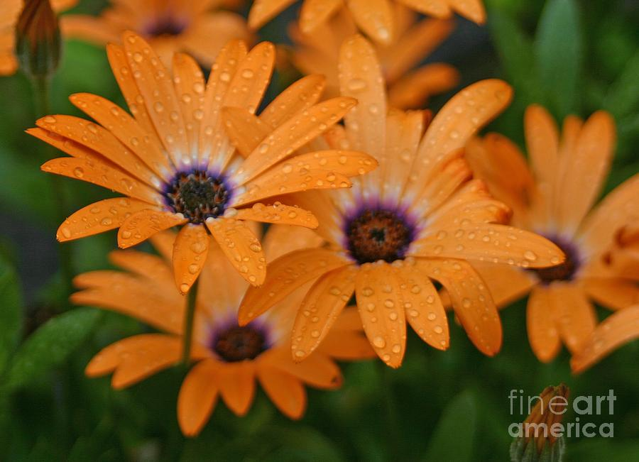 Orange Gazania by Cindy Lee Longhini
