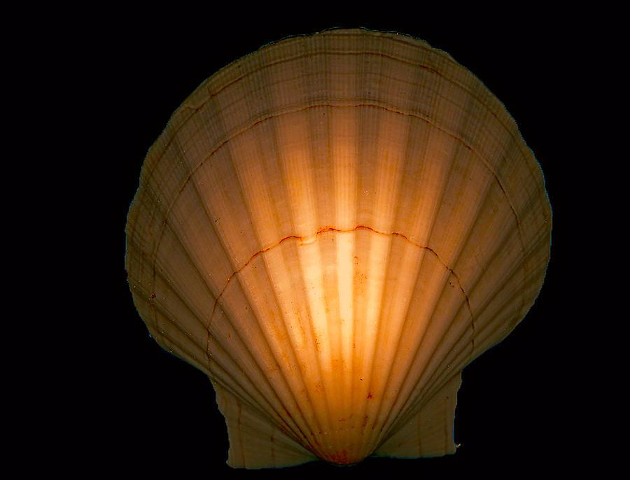 Sea Shell Digital Art - Orange Glo Shell by Cathy Anderson