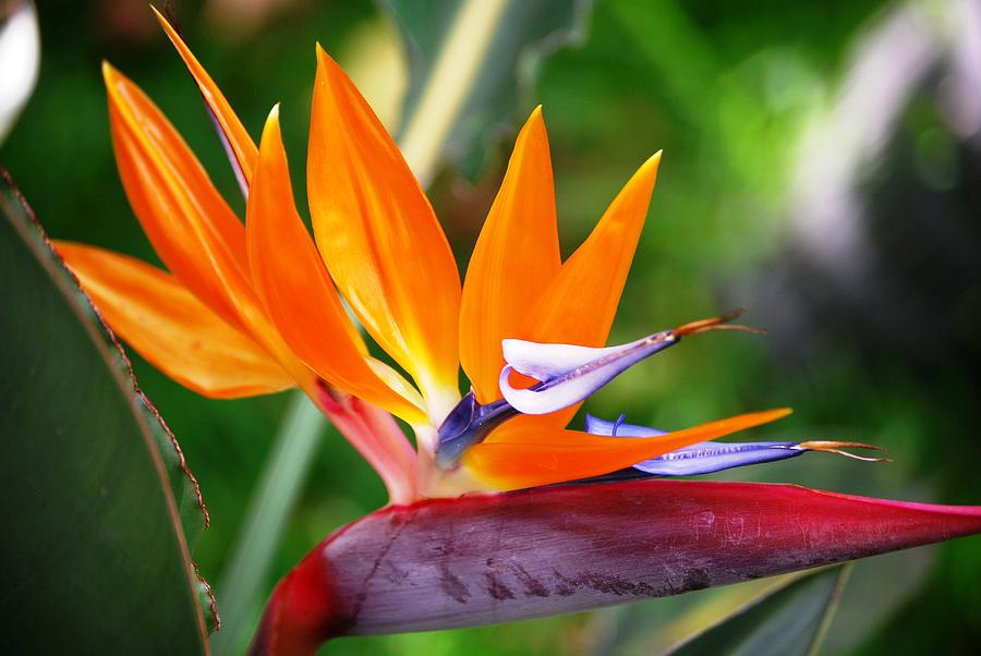 Hawaiian Flowers Photograph - Orange Glow by Lakida Mcnair