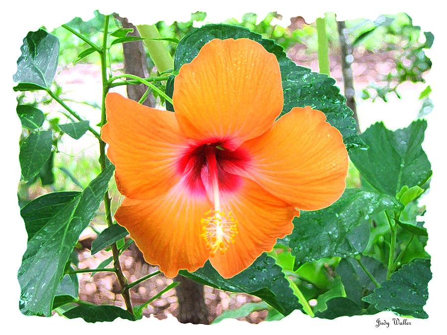 Flower Photograph - Orange Hibiscus by Judy  Waller