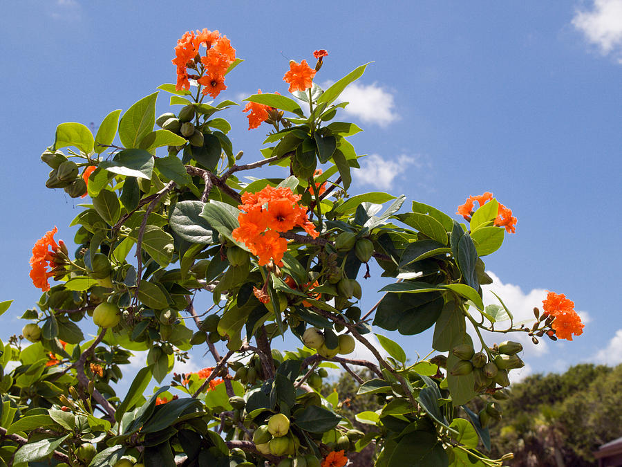 Orange Hibiscus With Fruit On The Indian River In Florida Photograph by Allan  Hughes