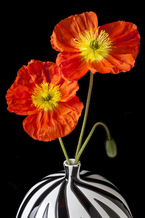 Poppies Photograph - Orange Iceland Poppies by Garry Gay