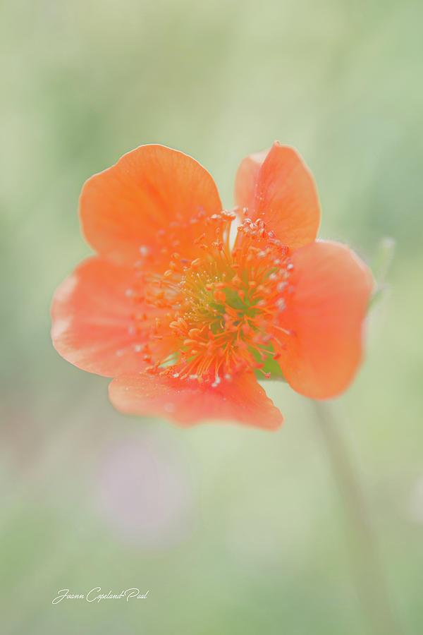 Orange Grecian Rose by Joann Copeland-Paul