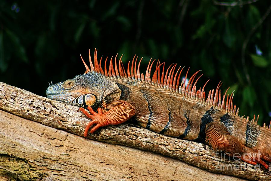 For Sale Photograph - Orange Iguana Close Up by Robert Wilder Jr