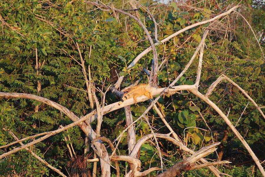 Wood Photograph - Orange Iguana  by Rob Hans
