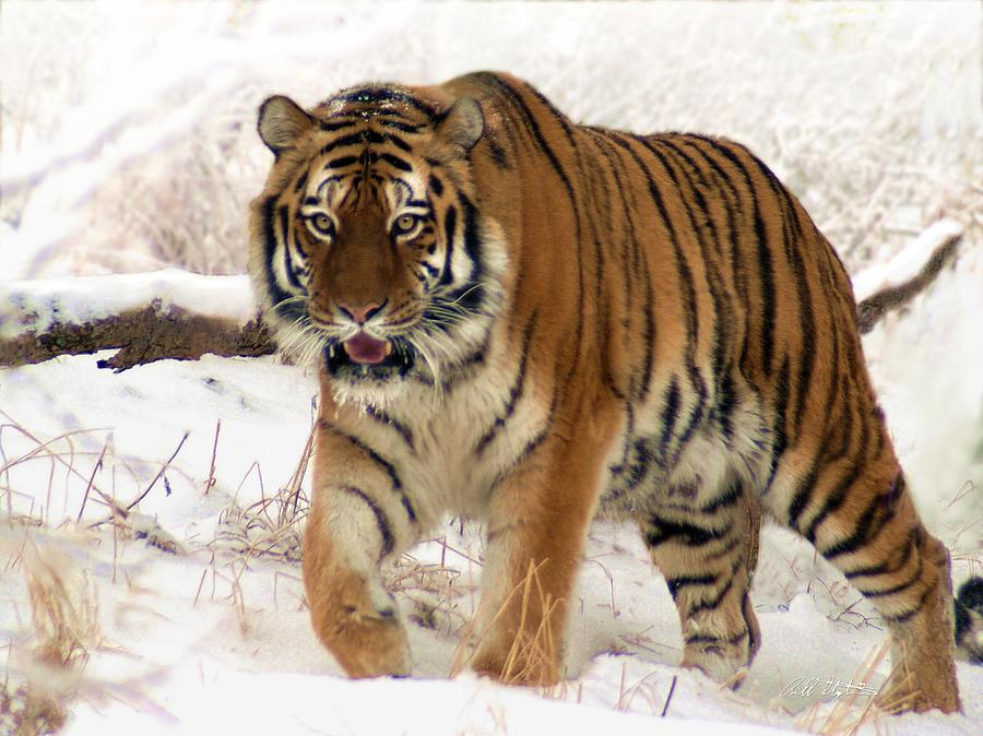 Tiger Photograph - Orange In Winter by Bill Stephens