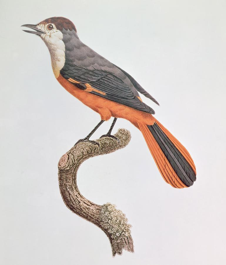 Orange Painting - Orange Jay by Jacques Barraband