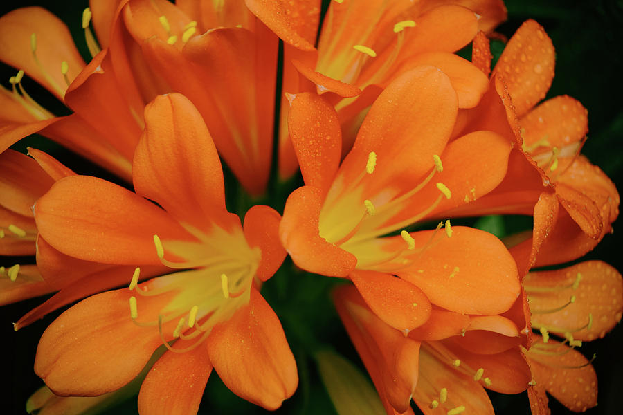 Orange Lilies No. 1-1 by Sandy Taylor