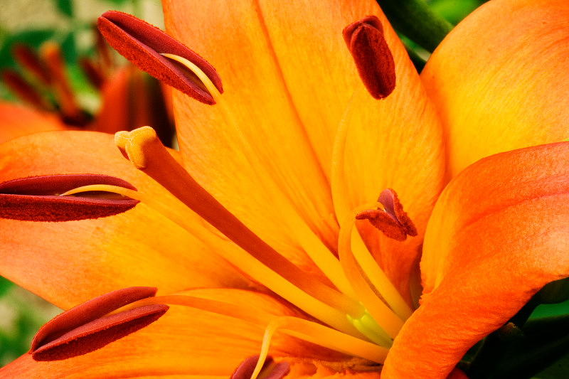 Lily Photograph - Orange Lily by Amanda Kiplinger