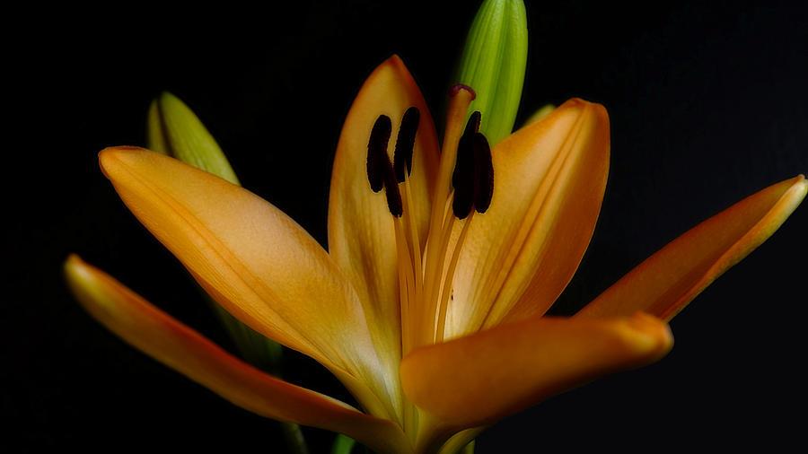 Orange Lily Four by Beth Akerman