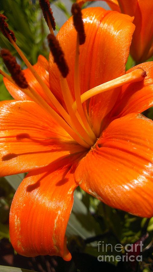 Orange Lily Photograph - Orange Lily by LKB Art and Photography