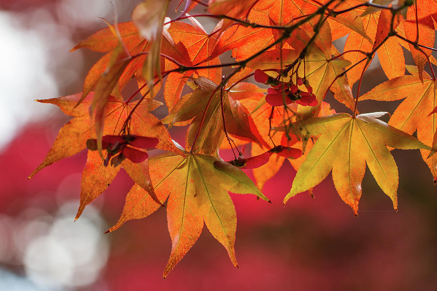 Orange Maple Leaves by Clare Bambers