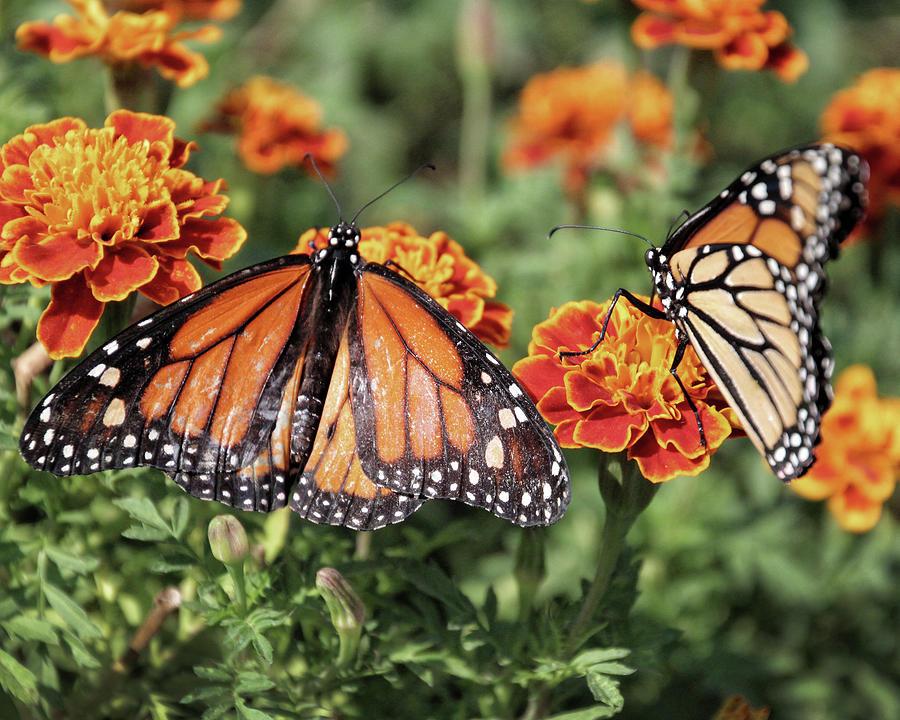 f04f6114e Orange Marigold And Monarchs Photograph by Gale Miko