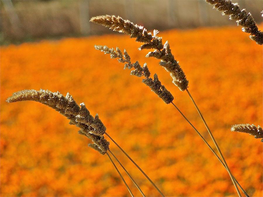 Flower Photograph - Orange Marigolds by Liz Vernand
