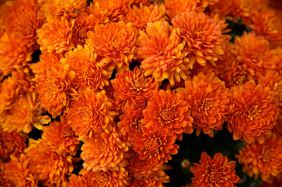 Orange Mums by Lawrence Boothby