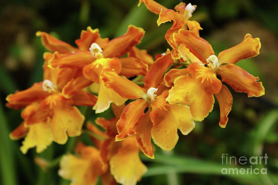Orange Orchid Photograph