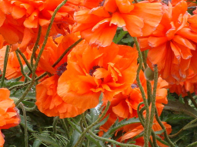 Corn Poppy Photograph - Orange Poppies by Tomi Michaels
