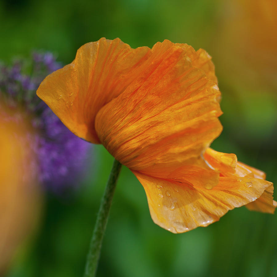 Orange Poppy Flower Photograph By Heiko Koehrer Wagner
