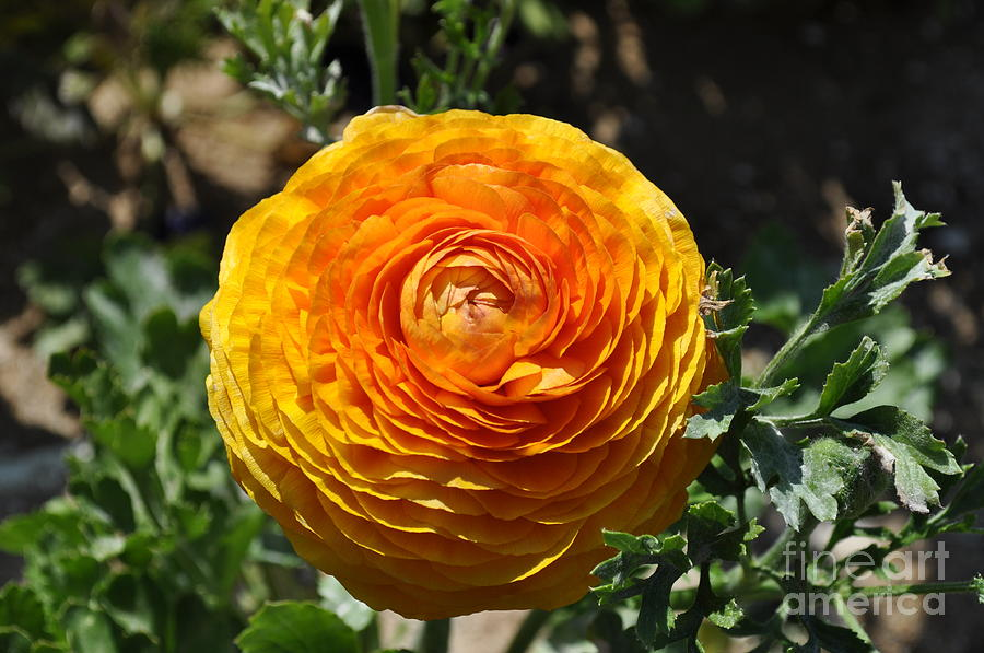 Orange Ranunculus by Bridgette Gomes