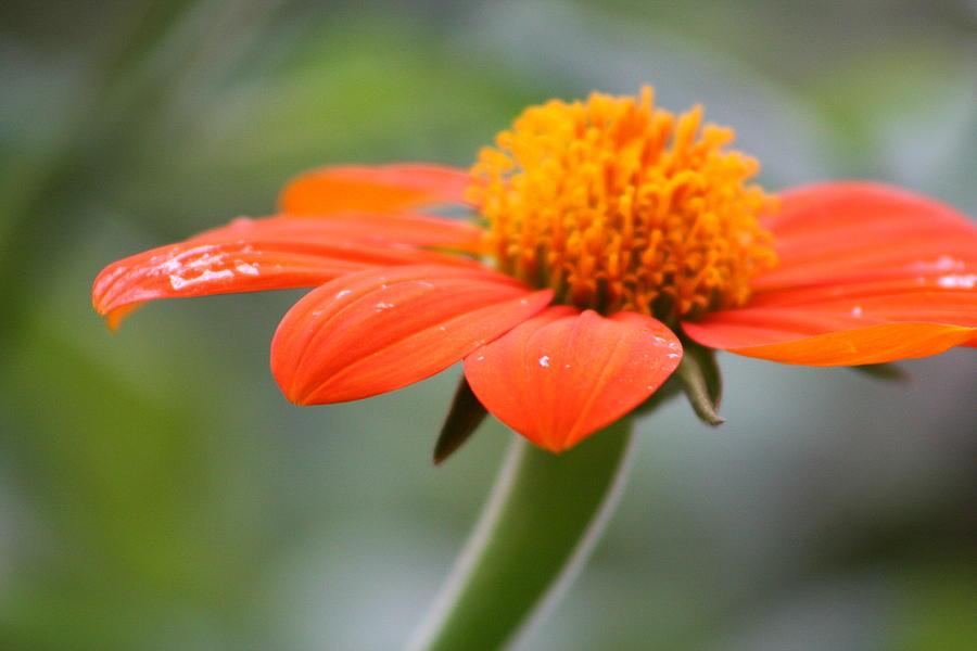 Flower Photograph - Orange by Raquel Daniell